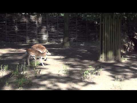 [Zoo Opole 2015]Daniel - Fallow deer