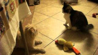 Ohio Bobcat Mix Playing With A Shih-tzu