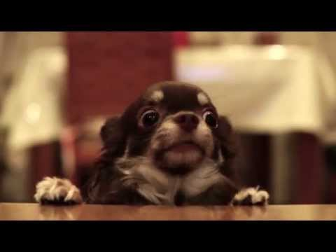 Cutest long-haired Chihuahua eating snacks