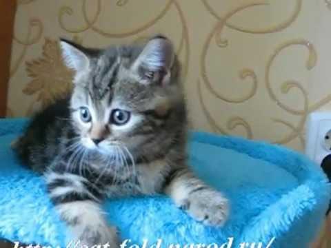 шотландские прямоухие котята фото