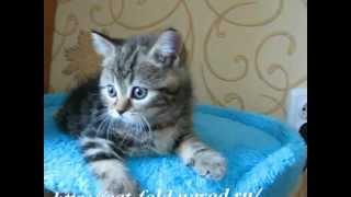 Продаются шотландские вислоухие и прямоухие котята.mpg