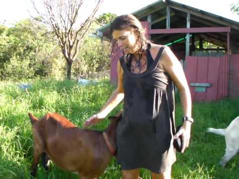 5 of 7 Life on an Organic Farm in Hana Maui, Hawaii - The Goats