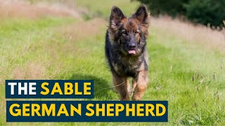 Sable German Shepherd: 7 Interesting Facts About the True Shepherd Dog!