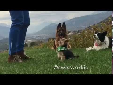 Yorkshire Terrier - Dancing Dog - Trick Dog Song: Uptown Funk (feat. Bruno Mars)