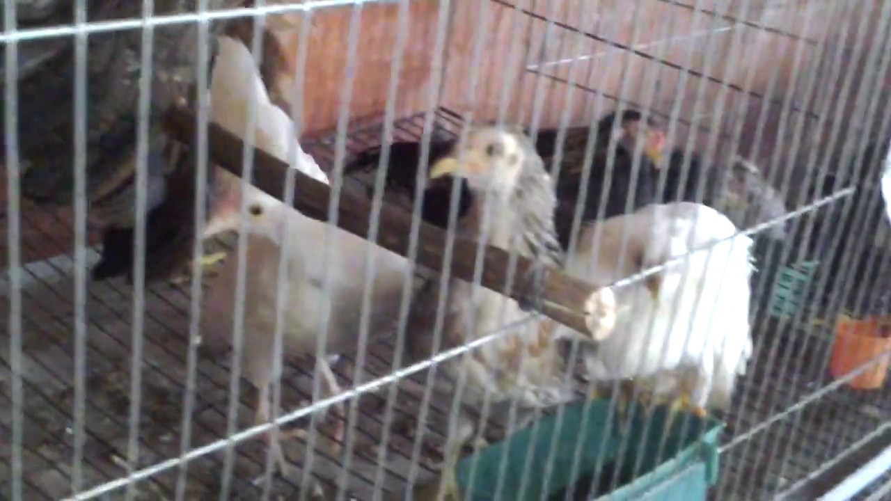 bán gà tre tân châu tại hà nội