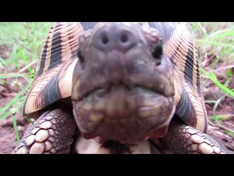 Burmese Star Tortoise Makes Meteoric Comeback | WCS Myanmar