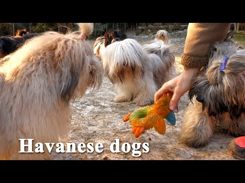 Havanese dogs are playing in winter