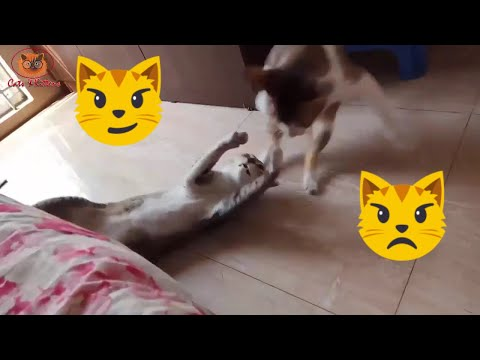 WWE Cats Wrestling | Funny Cats Fighting | Cat vs Cat fight | Cats and Kittens Video