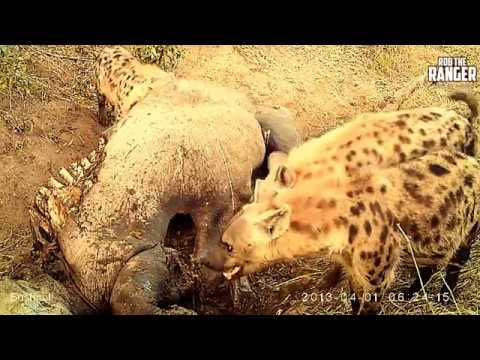 Trails Cam Footage Shows Hyenas And Vultures At Work
