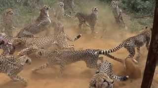 2014 AFRIKA/1 - Namibia, Harnas Gobabis, Feeding cheetahs