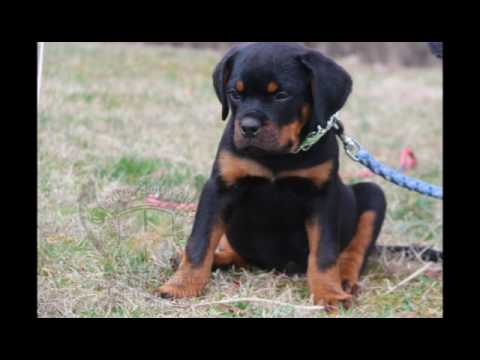 Guardian Rottweilers Stella Rosa Se Ungo Rot Youtube