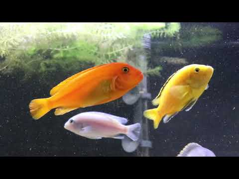Red Zebra Cichlid Breeding And Care