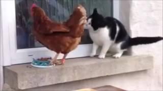 Gatto vs Gallo - Cat vs Rooster