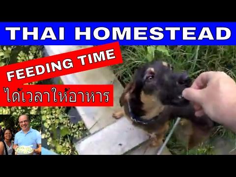 THAI HOMESTEAD - FEEDING TIME - Rural life Thailand Homestead THAI VLOG THAI VLOGG ชีวิตมีความสุข