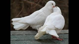 видео К чему снится белый голубь: толкование образа