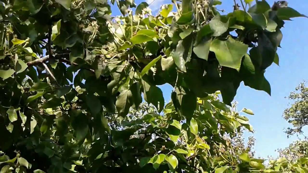 Чем обрабатывать грушу от вредителей и болезней, болезни листьев и плодов