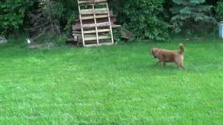 Shiba Inu mix stalks rabbit like a cat