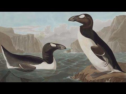 audubon's-birds,-audubon's-words:-hear-from-the-curator