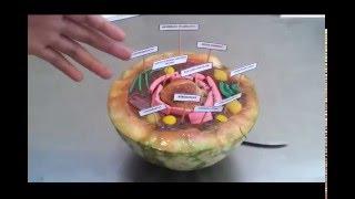 Строение клетки (КЛАСС)