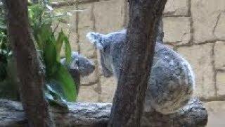 """コアラの赤ちゃん""""こまち""""誕生! 名古屋東山動植物園へ行ってきました。..."""