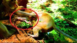 Breaking my heart ! Why monkey tear new baby so much like this? Pity baby cry more and more cos hurt