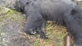 нападение-медведя-на-мужчину-под-воронежем