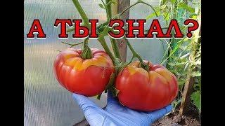 ВАЖНО! Сделайте это с томатами в АВГУСТЕ!