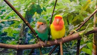 Рассказ про попугаев неразлучников