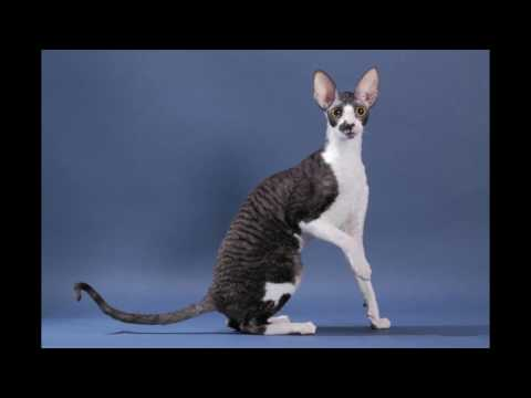Cornish Rex Cat and Kittens | History of This Charming Breed