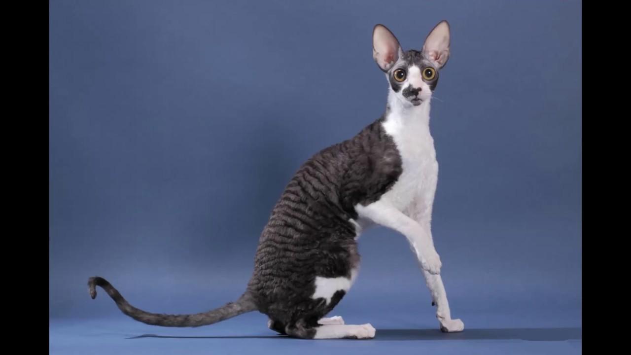 Cornish Rex Cat Video