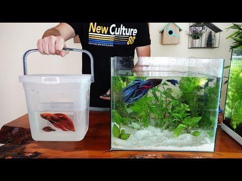 Beta Akvaryumu Kurdum - Beta Balığı Akvaryumu Nasıl Olmalı