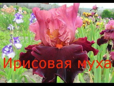 ирис цветы фото и уход