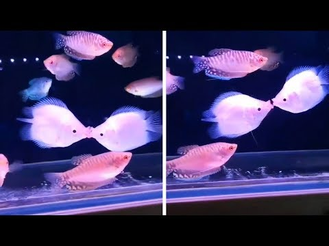Fish Fighting By Kissing Each Other