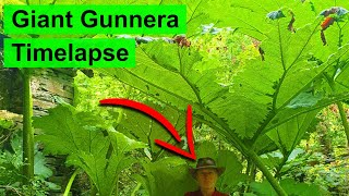 Giant Gunnera Plant Timelapse - 3 Months of Growth