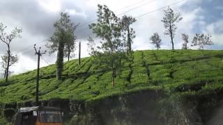 Tea Garden, Wayanad,Kerla