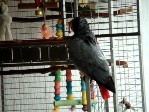Gri Papagan Boncuk