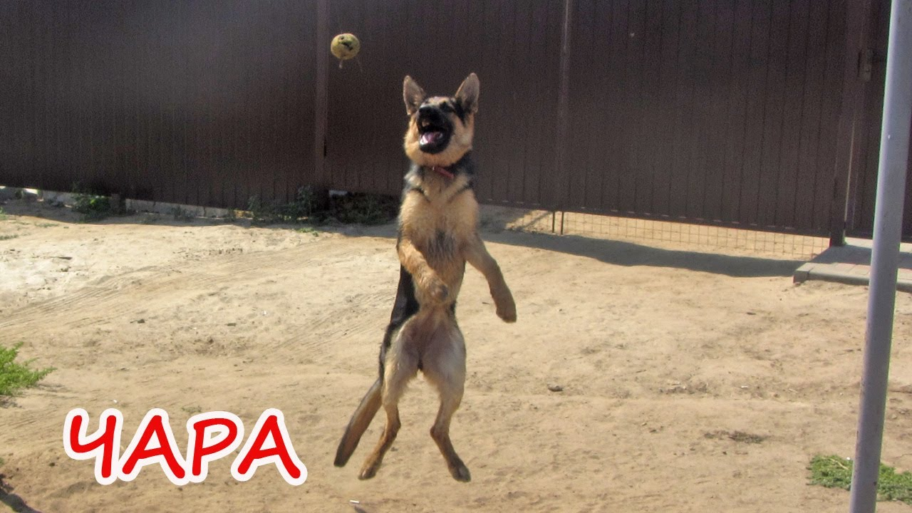 Собака ПРАЗДНИК - немецкая овчарка по кличке ЧАРА!