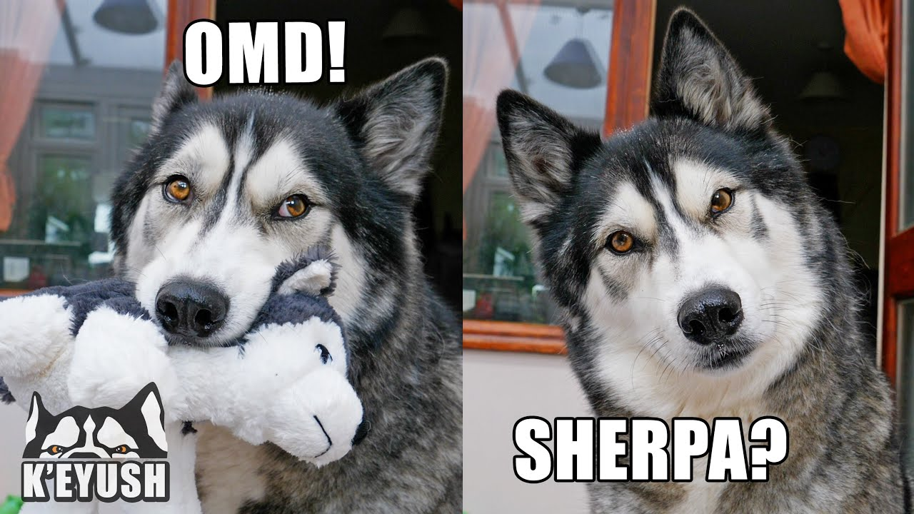 Husky Reunited With Best Friend After MONTHS Apart! He's In Shock!