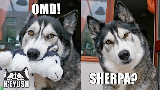 Husky Drops Toy in SHOCK! Reunited With Best Friend After MONTHS Apart!