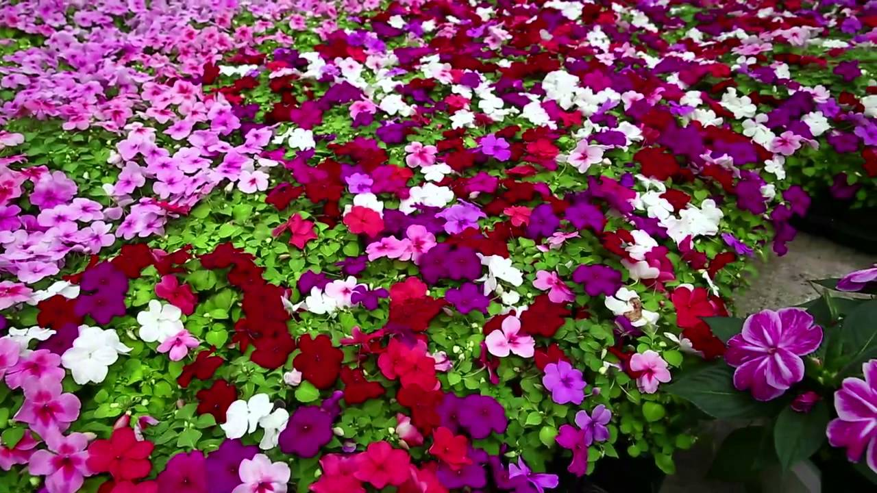 Image result for impatiens plants