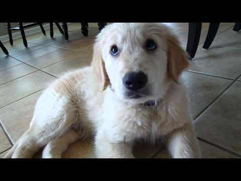New Golden Retriever Puppy! Waylon's First Days at Home
