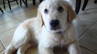 New Golden Retriever Puppy! Waylon's First Days At Home