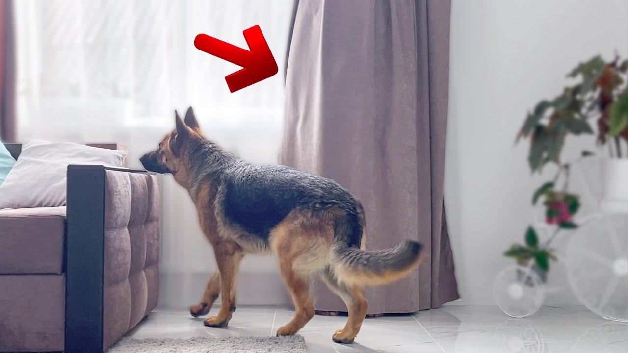 Hiding from My German Shepherd behind a Curtain