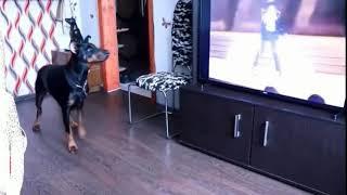 Dog Dancing To Michael Jackson  Billie Jean