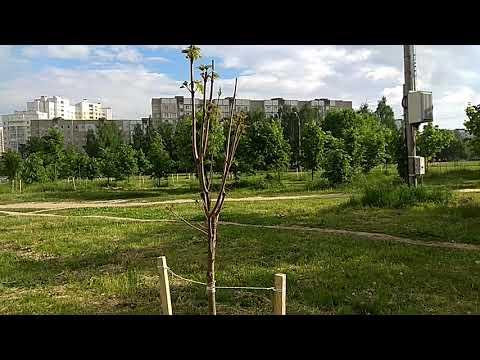 """💪 🤘""""Супер приживаемость"""" деревьев посаженных зимой."""