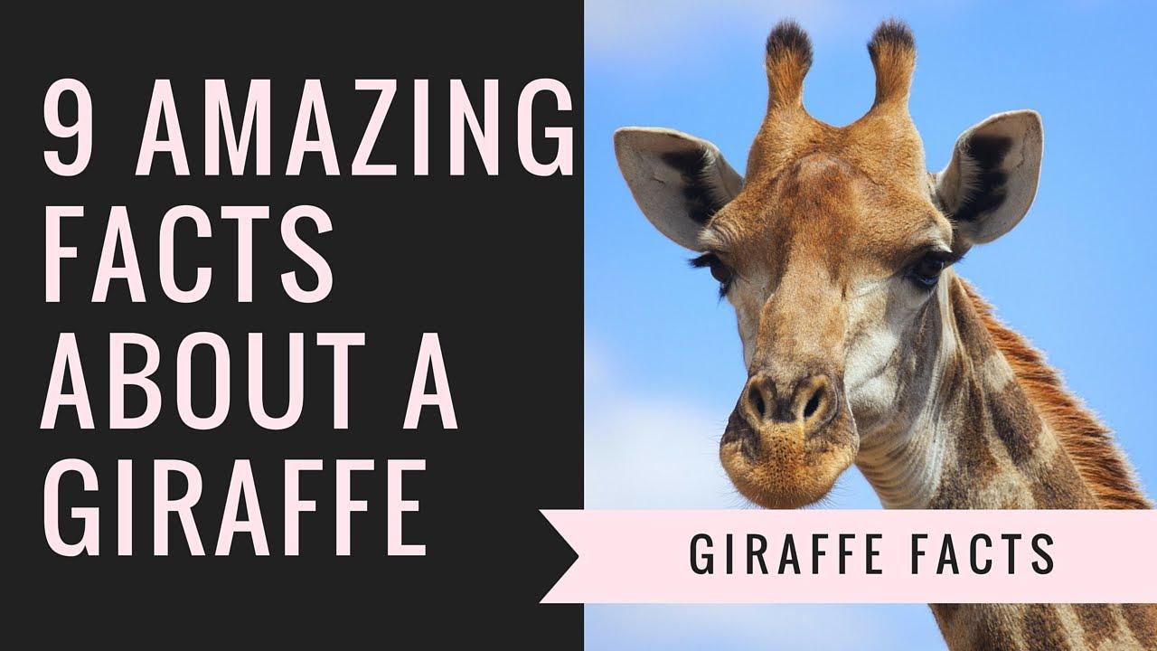 Giraffe Facts   Interesting Facts About Giraffes - YouTube