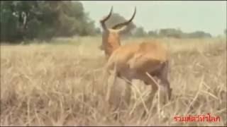 นักล่าสัตว์ ออกล่าเก้งป่า กวางป่า - คนป่าล่าช้างป่าเพื่อเอางาช้าง