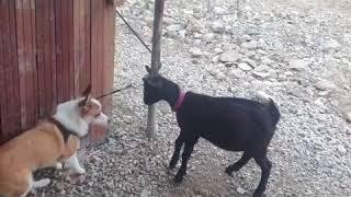 별이(강아지)VS깜냥(흑댕댕이)