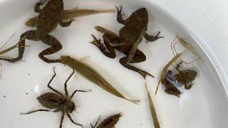 Dale insectos de agua gigantes a las criaturas atrapadas en el río. Pez pequeño, rana, camarón