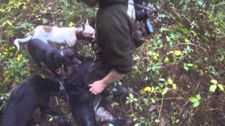 Hunting Wild boar with Dogs in New Zealand
